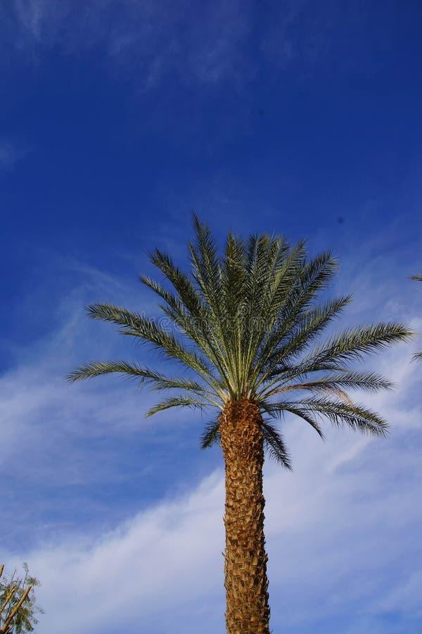 Ökenpalmträd arkivfoto