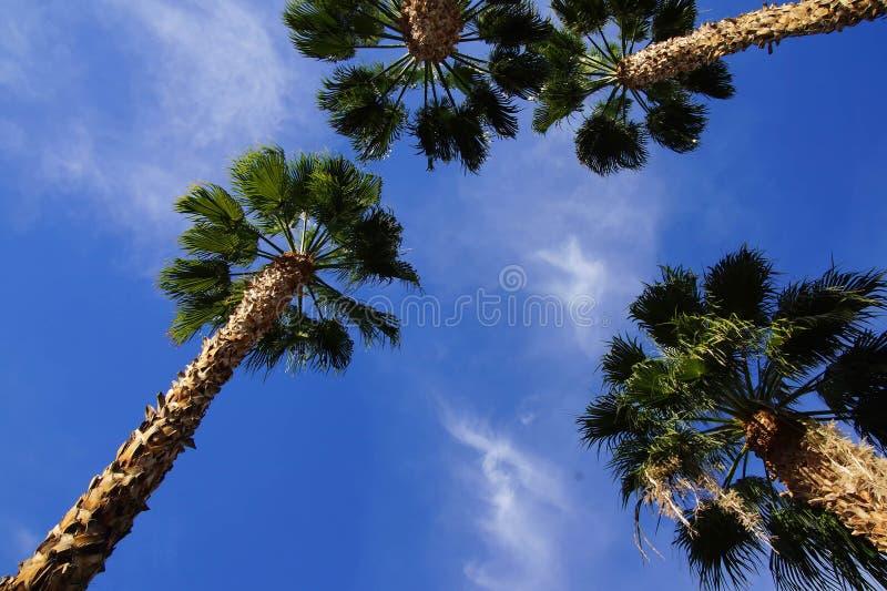 Ökenpalmträd royaltyfri foto