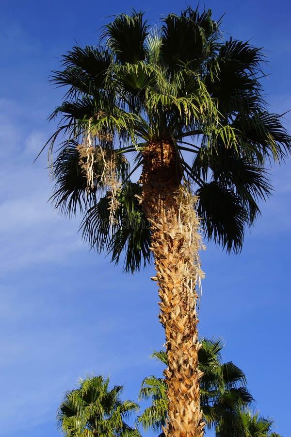 Ökenpalmträd fotografering för bildbyråer