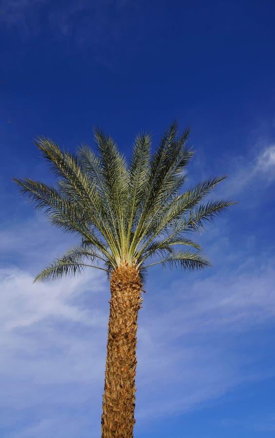 Ökenpalmträd royaltyfri bild