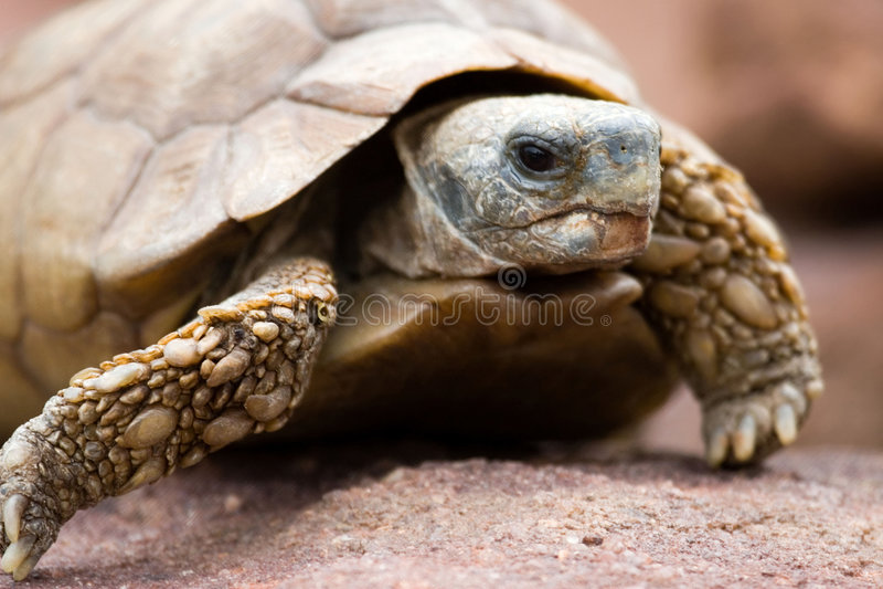 ökensköldpadda royaltyfri fotografi