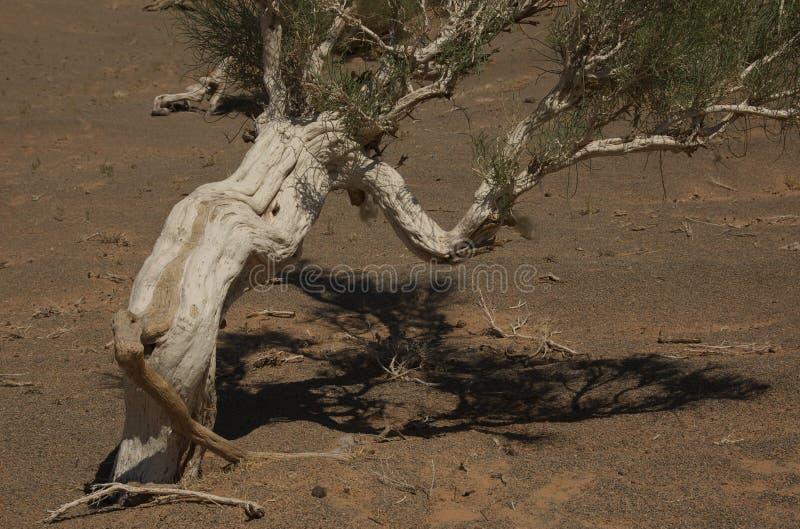 ökenskoggobi saxaul royaltyfri fotografi