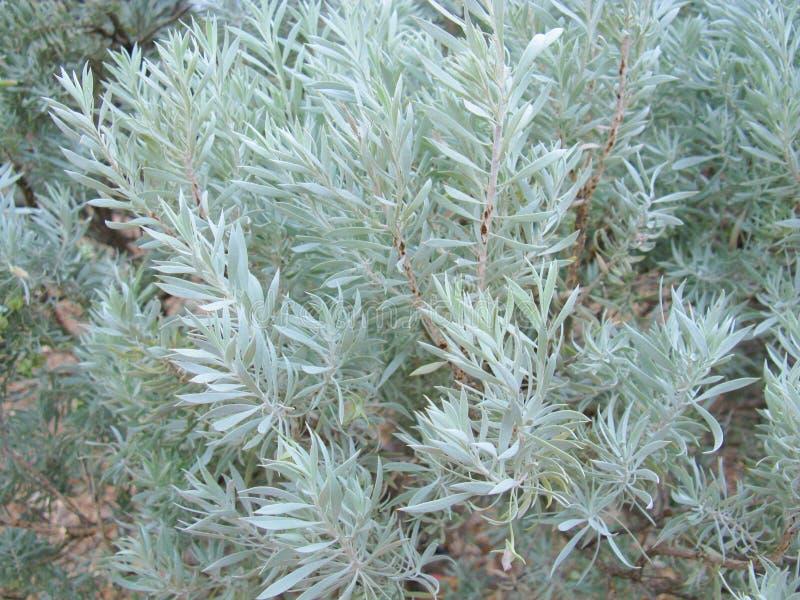 Ökenväxter i port Augusta royaltyfri fotografi