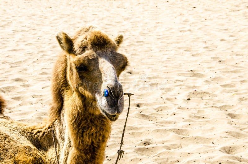 Öknar och kamel arkivbilder