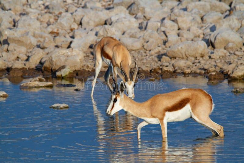 Öknar och natur för springbock afrikanska däggdjurs- i nationalparker fotografering för bildbyråer