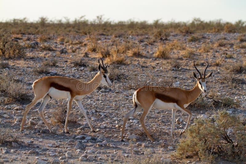 Öknar och natur för springbock afrikanska däggdjurs- i nationalparker royaltyfria foton