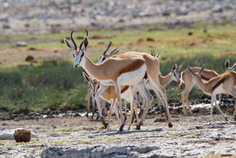 Öknar och natur för springbock afrikanska däggdjurs- i nationalparker royaltyfri foto