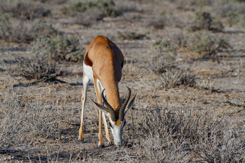 Öknar och natur för springbock afrikanska däggdjurs- i nationalparker arkivbild