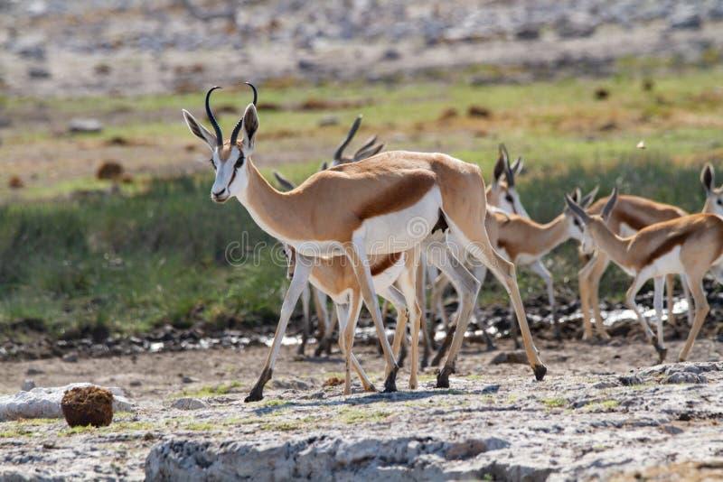 Öknar och natur för springbock afrikanska däggdjurs- i nationalparker arkivfoto