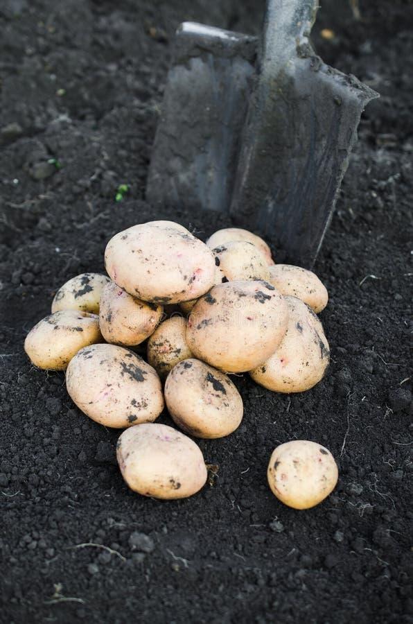 Ökologische Kartoffeln der Ernte frisch genommen von der Erde lizenzfreie stockfotos