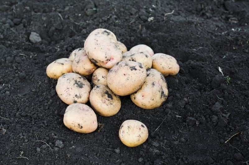 Ökologische Kartoffeln der Ernte frisch genommen von der Erde stockfotografie