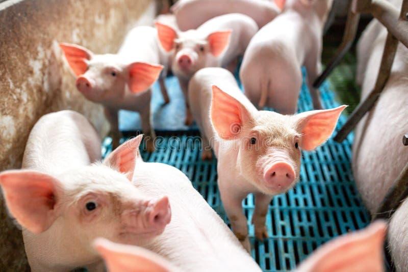Ökologische Schweine und Ferkel am inländischen Bauernhof lizenzfreie stockfotografie
