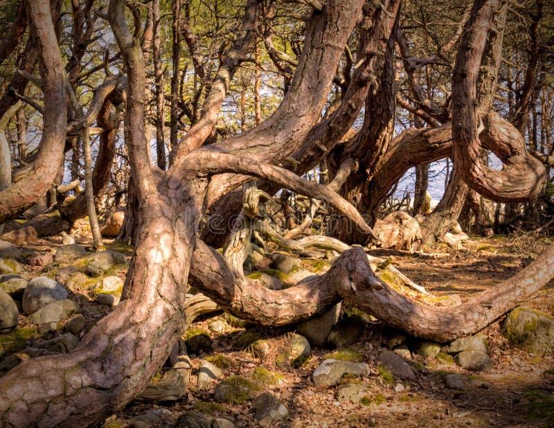 Öland Trollskogen. Old tree in the nature Trollskogen reserve at the northeastern end of the Swedish island of Öland stock image