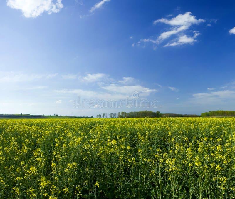 Ölrapsfeld während des sonnigen Frühlingstages stockbilder