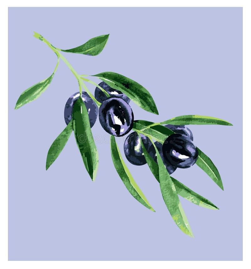 Ölzweig mit schwarzen Oliven und grünen Blättern, neues biologisches Lebensmittel, Ölpaketgestaltungselement, lokalisiert, Hand g lizenzfreie abbildung