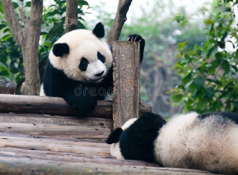 önskar gulligt jätte- pandaspelrum för björnen arkivbilder