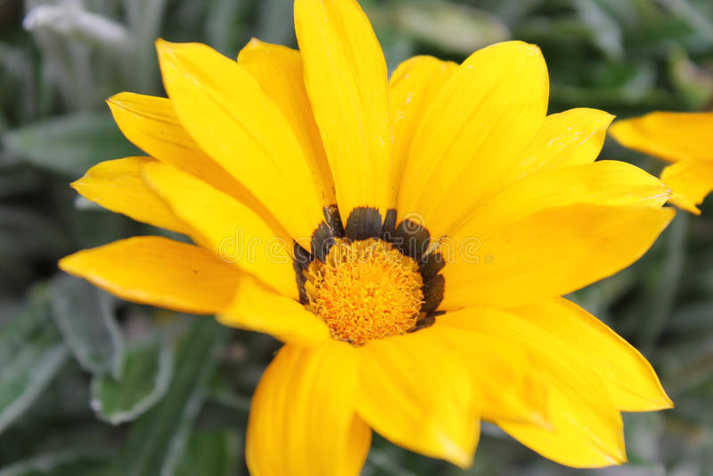 öppen blomma arkivfoton