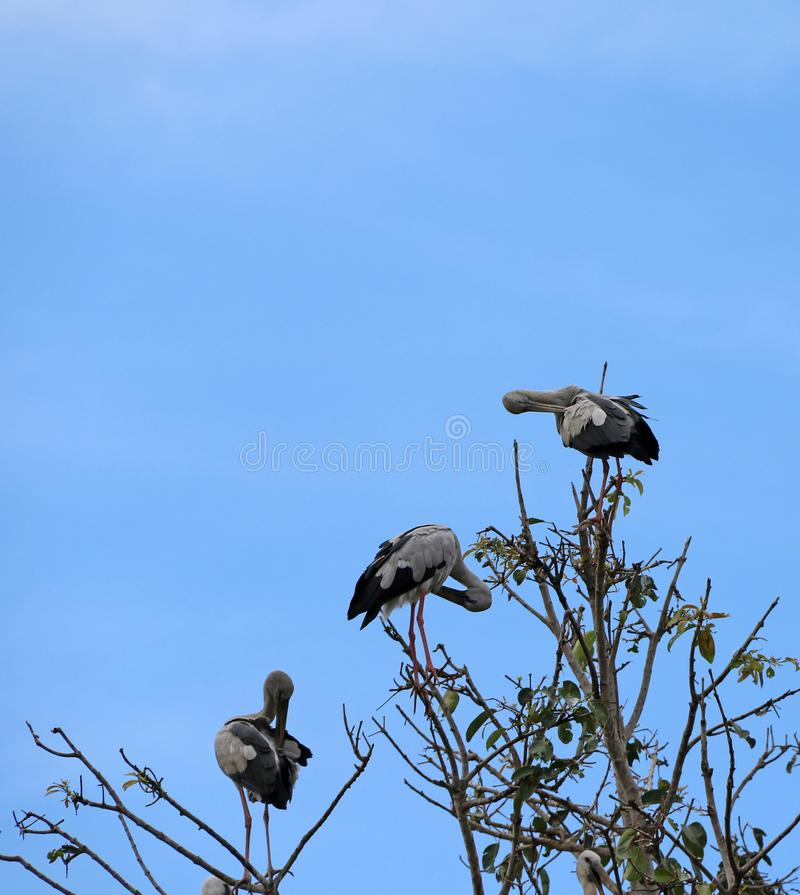 Öppen fakturerad fågelsittpinne för stork tre upptill av trädet och lokalvårdfjädrarna på bakgrund för blå himmel arkivfoto