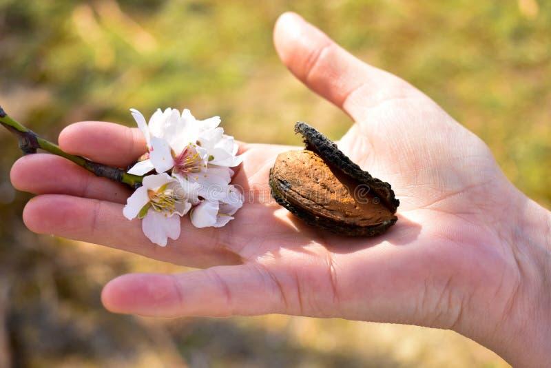 öppen hand som visar en skördad mandel med en filial av mandelträdet med några vita blommor på slutet i en solig dag av våren arkivbild