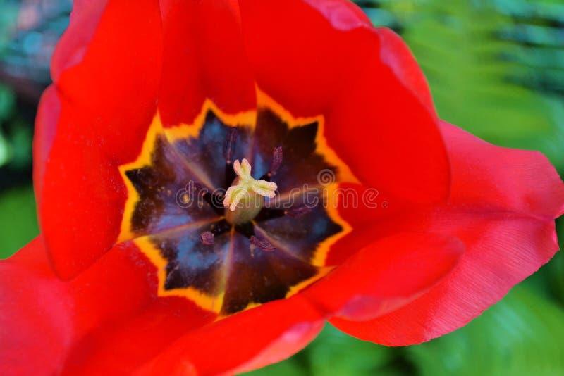 Öppen knopp av den röda tulpan, makro, bästa sikt, begrepp för vykort fotografering för bildbyråer
