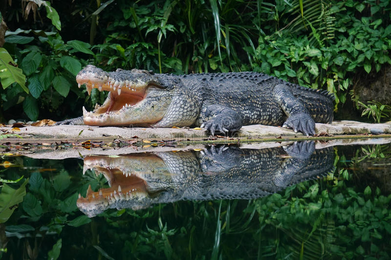 öppen krokodilmun royaltyfria foton