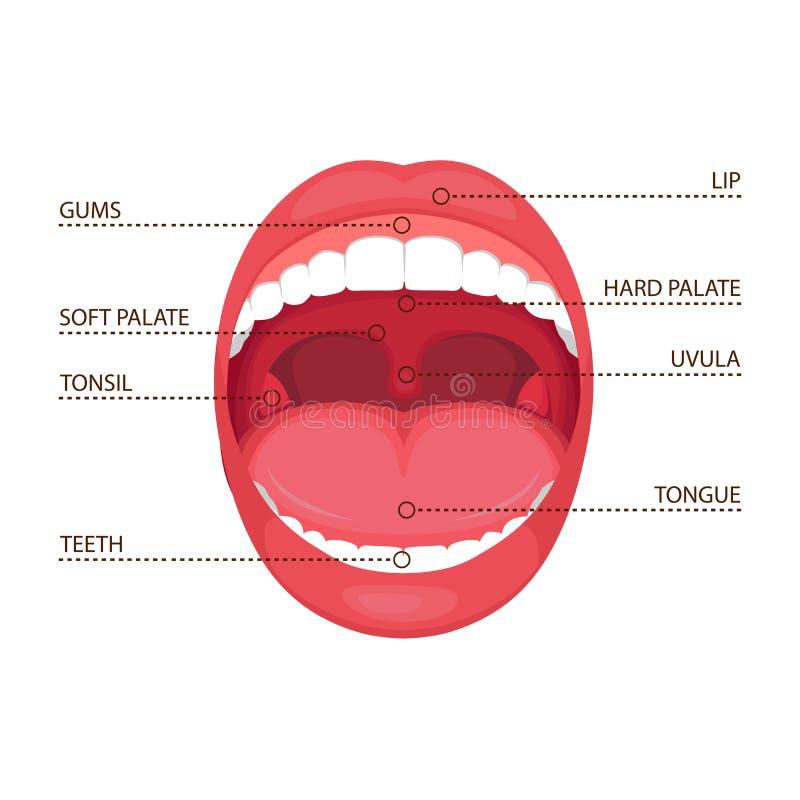 Öppen mun för anatomimänniska, medicinskt diagram vektor illustrationer