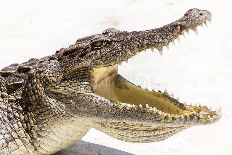Öppen mun för djurlivkrokodil arkivfoton