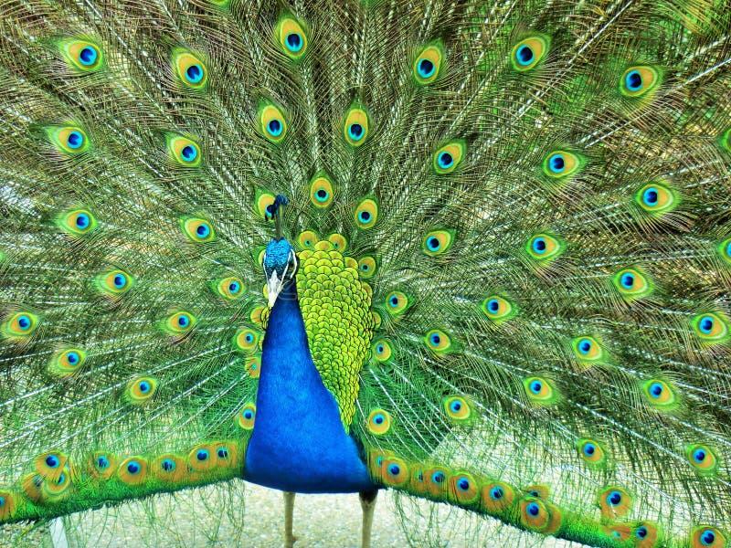 Öppen svans för påfågel arkivfoto