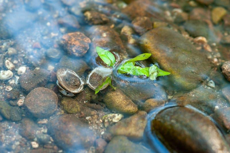Öppet snäckskal i grunt vatten fotografering för bildbyråer
