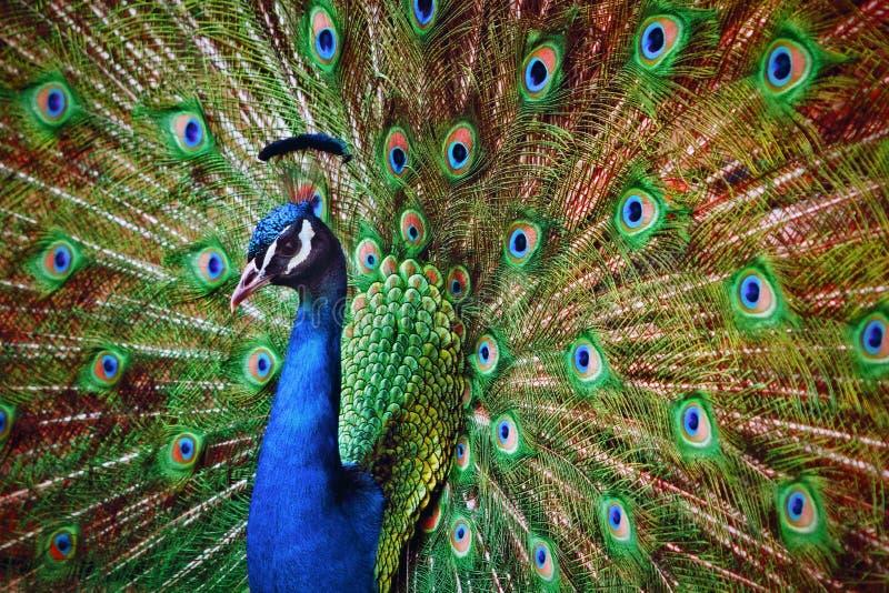 Öppna fjädrar för påfågel som ser till och med kamera arkivfoto