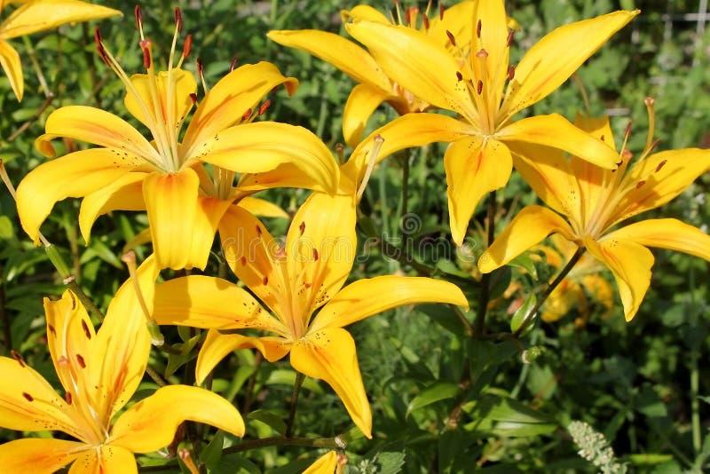 Öppna knoppar av gula liljor arkivfoto