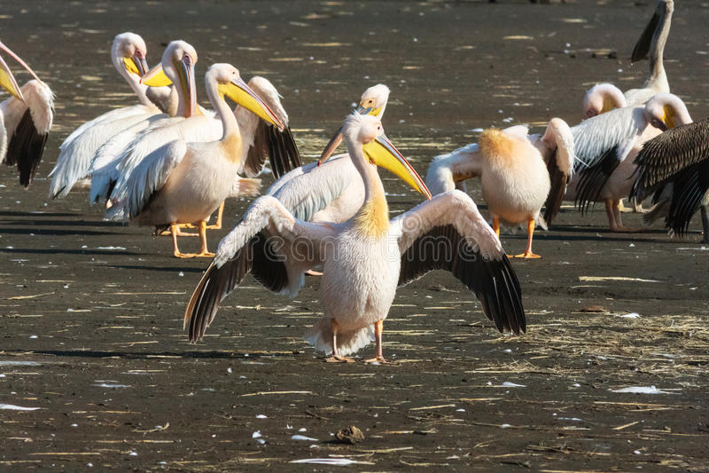 öppna pelikanvingar Nakuru arkivbilder