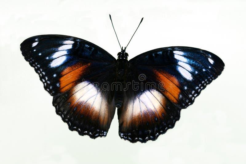 öppna vingar för fjärilscommon eggfly arkivfoto
