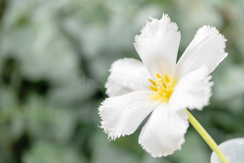 Öppnad knopp av den ovanliga vita tulpan Blomma med satt fransar på på naturlig lövverkgräsplanbakgrund 9 inställda underbara fjä arkivfoto