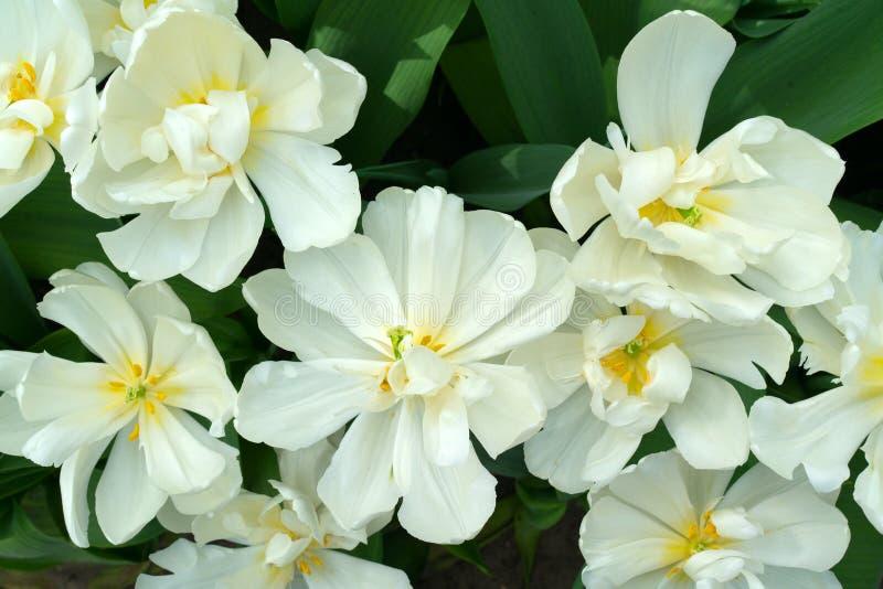 Öppnade vita blommor av tulpan med gul mitt och gula stamens royaltyfria foton