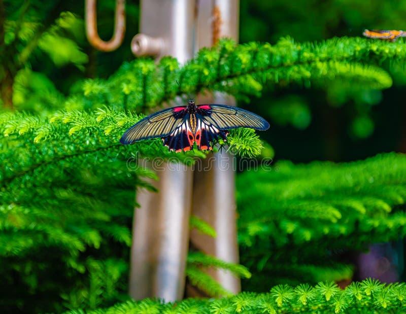 Öppnar den kvinnliga fjärilen för scharlakansröd swallowtail med vingar royaltyfri foto