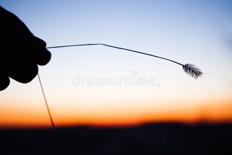 Öra av gräs i handen, kontur mot bakgrunden av en molnfri blå himmel med enapelsin gryning royaltyfria foton