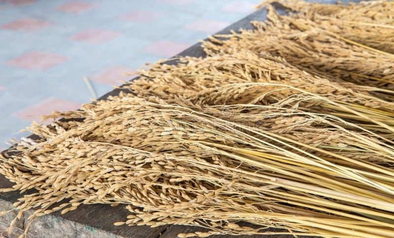 Öra av ris arkivbilder