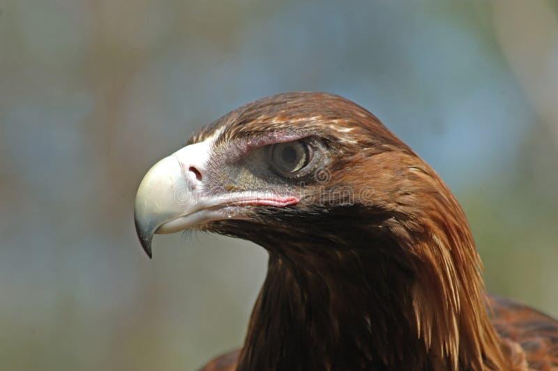 örn tailed wedge arkivfoto