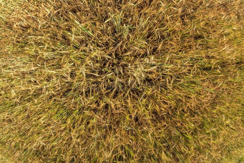 Öron av korngungningen i vinden Fält av härligt korn för sommarguldråg och vetecloseupen för grön bransch Bred vinkelöverkant royaltyfria foton