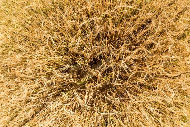 Öron av korngungningen i vinden Fält av härligt korn för sommarguldråg och vetecloseupen för grön bransch Bred vinkelöverkant arkivbilder
