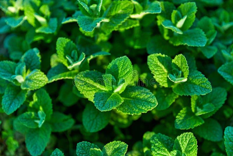 Ört och krydda för ny mintkaramell som arbeta i trädgården lantbruk royaltyfria bilder