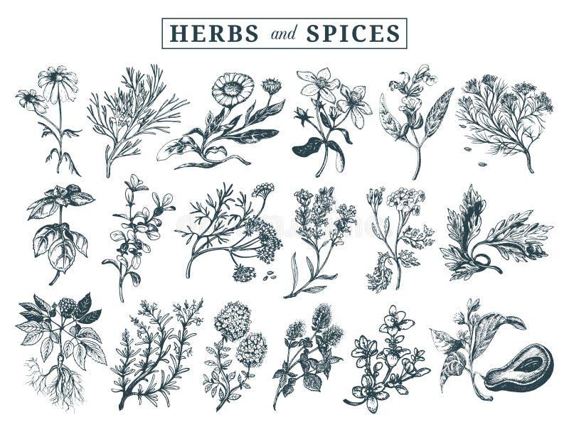 örtar inställda kryddor Räcka utdragna officinalis som är medicinska, skönhetsmedelväxter Botaniska illustrationer för etiketter  stock illustrationer