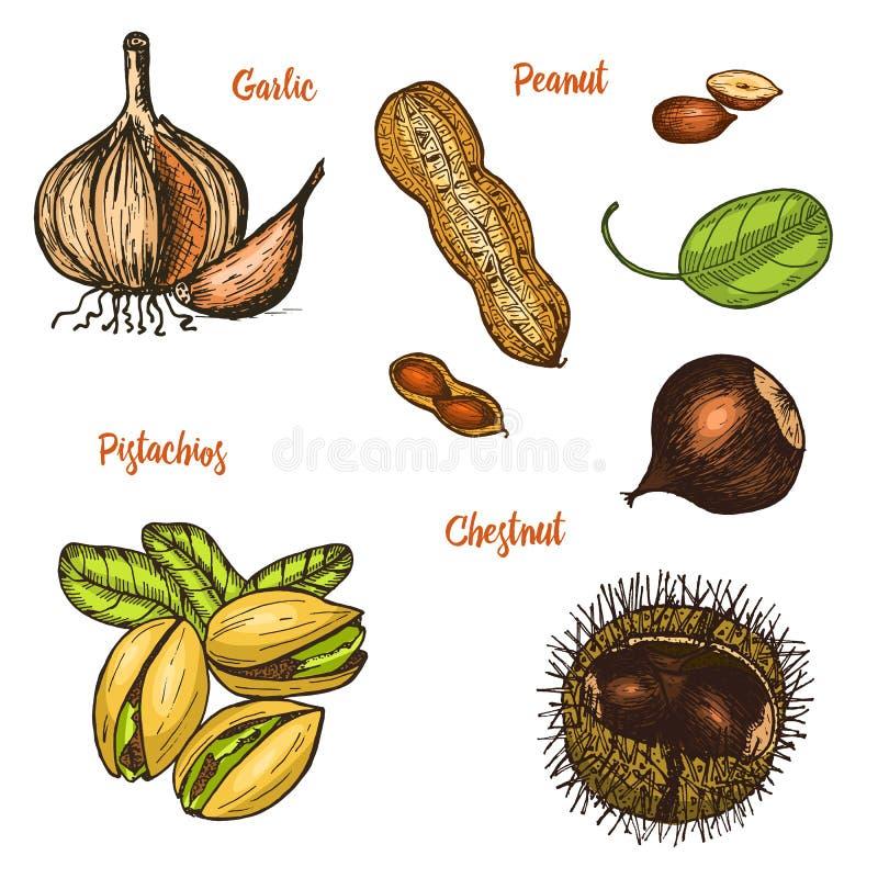 Örter, smaktillsatser och kryddor pistascher och vitlök, jordnöt och kastanj, frö för menyn Organiska växter eller stock illustrationer