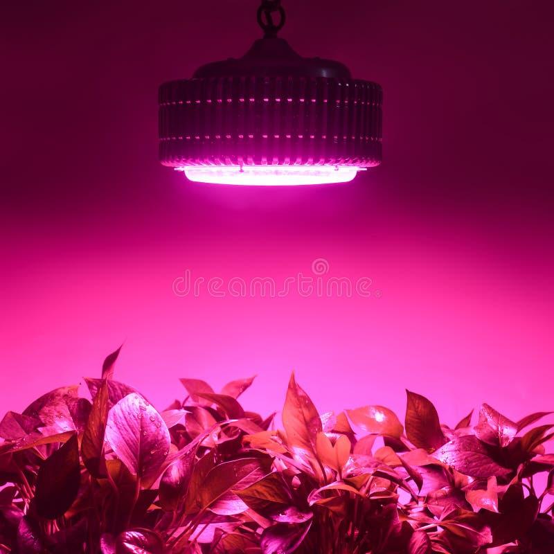 Örter växer med lett ljus för växttillväxt i växthus royaltyfri foto