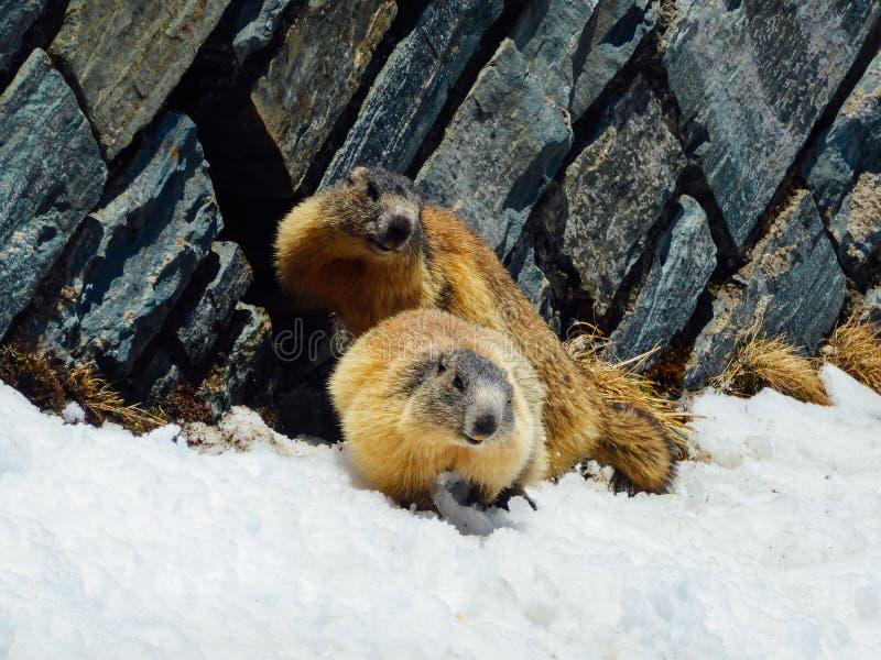 Österreich - Murmeltiere, die im Schnee spielen stockfotografie