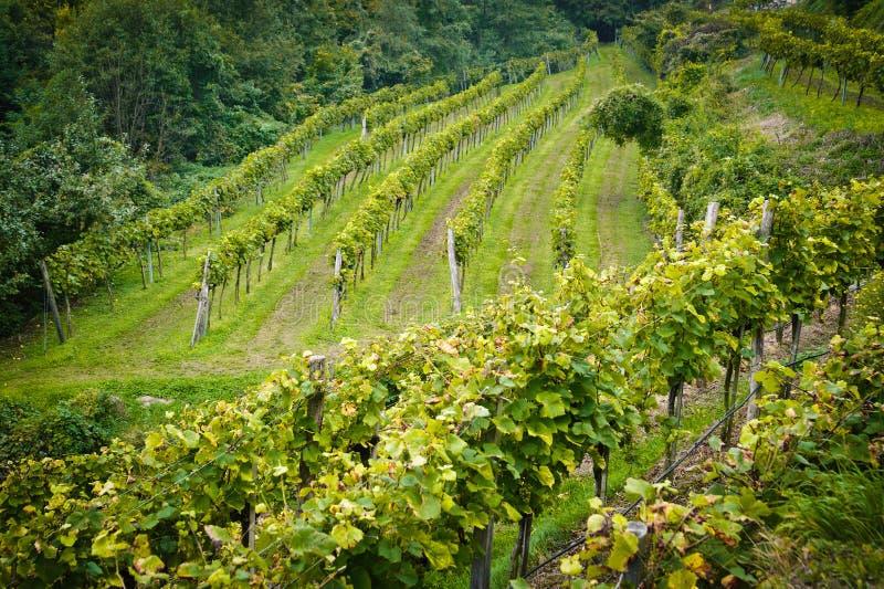 Österrike fäller ned vingården arkivbilder