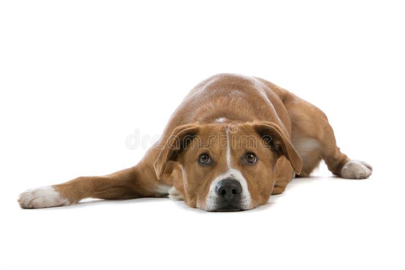 österrikisk hundpinscher royaltyfri fotografi