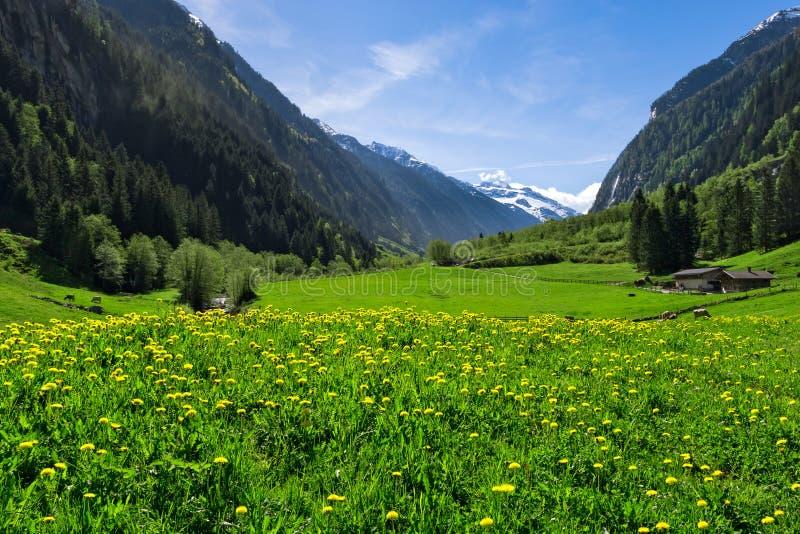 Österrikiskt landskap med ängar och berg i våren Österrike Tirol, Zillertal, Stillup arkivbild
