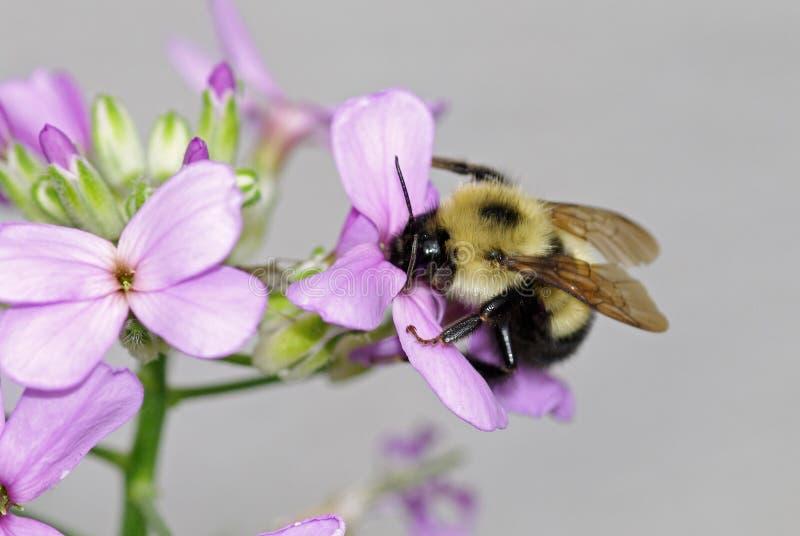 Östlich mogeln Sie Biene durch stockbilder